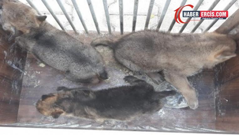 Erciş'te dişi kurdu öldürüp yavrularını yakaladılar