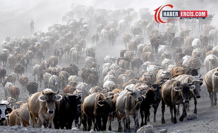 İki aşiret arasında çıkan kavgada 50 inek hayatını kaybetti