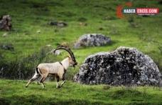Çevreciler Dağ keçilerinin avlanma ihalesinin derhal iptalini istedi