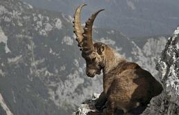 'Dağ keçilerini avlatmak sistematik saldırıların bir parçası'
