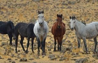 Kayıp atların 80'i Irak'a satıldı, bazıları...