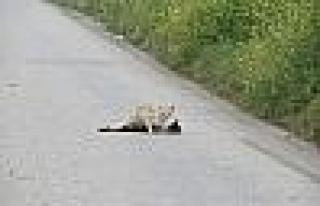 Kediyi Kahreden Kaza