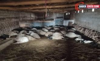 Van'da Tilkinin girdiği ahırda 44 koyun öldü
