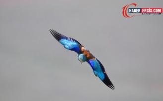 Gökkuzgun kuşu Van'da Erçek Gölü'nde görüntülendi