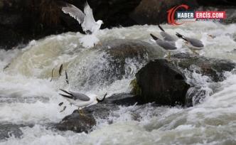Erciş'te İnci Kefali'nin üreme yolculuğuna baraj engeli