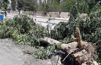 Van'da Ağaç kıyımı: Kaldırımdaki ağaçlar kepçeyle söküldü