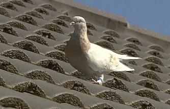 """""""İdam mahkumu"""" güvercine iyi haber: Bileziği sahte çıktı"""