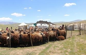 Yayla kiraları koçerleri hayvancılıktan soğutuyor