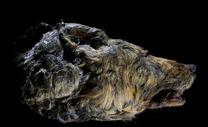 Sibirya'da 30.000 Yıllık Kurt ve Aslan Bulundu