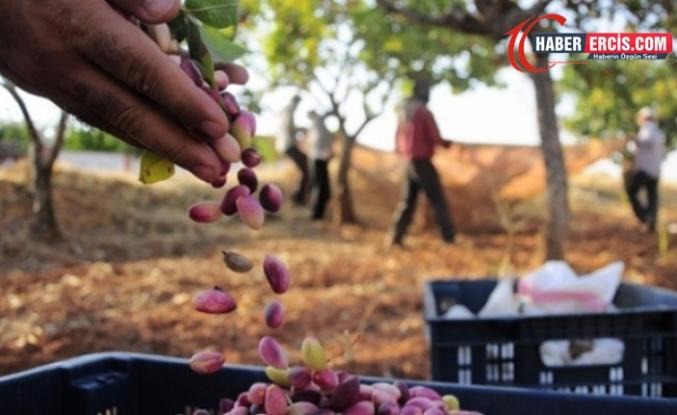 Üreticisinden 15-20 liraya alınan Antep fıstığı 4 katına satılıyor